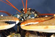 Common Lobster - Homarus vulgaris
