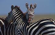 Laughing zebra,  Serengeti National Park, Tanzania.