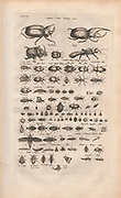 Copperplate print of beetles from Johannes Jonston book of nature 'Dr. I. Ionstons Beschrijving vande natuur der vogelen neffens haer beeldenissen in koper gesneden' Published in Amsterdam in 1660