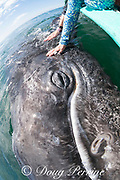 friendly gray whale calf, Eschrichtius robustus, surfaces next to a whale-watching tour boat, San Ignacio Lagoon, El Vizcaino Biosphere Reserve, Baja California Sur, Mexico; some passengers reach over to touch the inquisitive baby whale