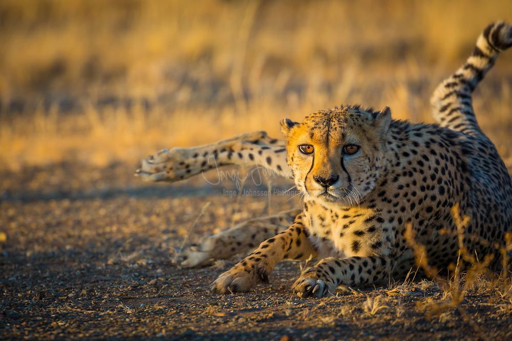"The cheetah (Acinonyx jubatus), also known as the hunting leopard, is a big cat that occurs mainly in eastern and southern Africa and a few parts of Iran. The only extant member of the genus Acinonyx, the cheetah was first described by Johann Christian Daniel von Schreber in 1775. The cheetah is characterised by a slender body, deep chest, spotted coat, a small rounded head, black tear-like streaks on the face, long thin legs and a long spotted tail. Its lightly built, thin form is in sharp contrast with the robust build of the other big cats. The cheetah reaches nearly 70 to 90 centimetres (28 to 35 in) at the shoulder, and weighs 21–72 kg (46–159 lb). While it is taller than the leopard, it is notably smaller than the lion. Basically yellowish tan or rufous to greyish white, the coat is uniformly covered with nearly 2,000 solid black spots.<br /> <br /> Cheetah are active mainly during the day; hunting is the major activity. Adult males are sociable despite their territoriality, forming groups called ""coalitions"". Females are not territorial; they may be solitary or live with their offspring in home ranges. Carnivores, cheetah mainly prey upon antelopes and gazelles. They will stalk their prey to within 100–300 metres (300–1,000 ft), charge towards it and kill it by tripping it during the chase and biting its throat to suffocate it to death. The cheetah's body is specialised for speed; it is the fastest land animal. The speed of a hunting cheetah averages 64 km/h (40 mph) during a sprint; the chase is interspersed with a few short bursts of speed, when the animal can clock 112 km/h (70 mph). Induced ovulators, breeding in cheetah occurs throughout the year. Gestation is nearly three months long, resulting in a litter of typically three to five cubs (the number can vary from one to eight). Weaning occurs at six months; siblings tend to stay together for some time. Cheetah cubs face higher mortality than most other mammals, especially in the Serengeti region. Cheetah in"