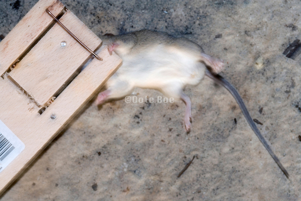 mouse caught in mousetrap
