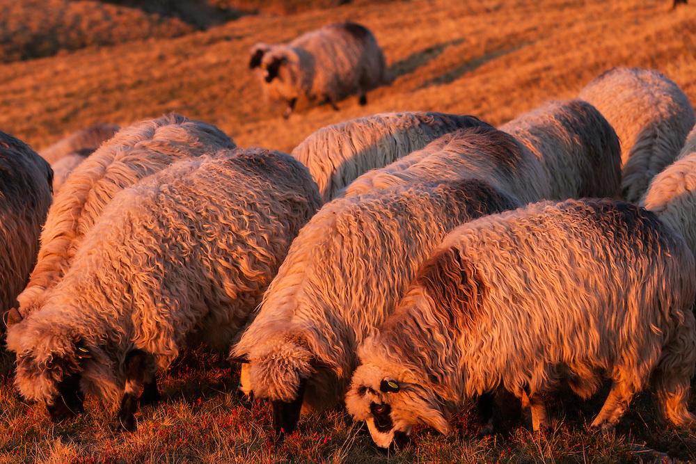 Domestic sheep (Ovis aries) grazing on a slope in the Tarcu Mountains Natura2000 area. Southern Carpathians, Munții Ṭarcu, Caraș-Severin, Romania.