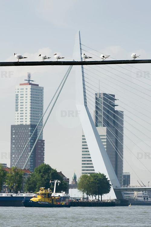 Nederland Rotterdam 9 juli 2010 20100709 Stadsgezicht Kop van Zuid. Op de voorgrond de rivier de Maas, zitten meeuwen op een lijn. Op de achtergrond een boot van de Port of Rotterdam, hoogbouw, Hoogste woontoren van Nederland Montevideo, de Erasmusbrug, en port of rotterdam, gemeentelijk havenbedrijf., stedenbouw, steeds, steedse, straatbeeld, straatgezicht, street scenery, streetscene, sunshine, the netherlands, the sky is the limit, toren, torens, tower, uitbreidingsgebieden, urban landscape, urbanisatie, urbanisering, urbanisme, urbanistisch, urbanistische, vaart, varen, vastgoed, vernieuwing, vernieuwing stedelijk:.stadsvernieuwing, vervoer over water, vessel, vogel, vogels, vrij, water, water level, Water Management Authority, waterbeheer, Waterbeheerplan, watergang, waterhuishouding, waterlevel, watermanagement, watermassa, waterniveau, Waterpeil, waterplan, wolkenkrabber, wolkenkrabbers, zonnig weer  , stadsontwikkeling, stadsuitbreiding, stadsuitbreidingslocaties, stadsvernieuwing, stedebouw, stedelijk gebied, stedelijk lokatie, stedelijke, stedelijke planning, stedelijke vernieuwing, steden Foto: David Rozing
