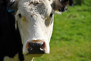 Portrait of a cow. Photographed in new Zealand