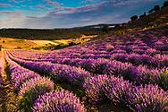 Bulgarian lavender field at sunrise
