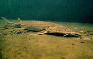 Shovelnose Sturgeon<br /> <br /> Garold Sneegas/Engbretson Underwater Photography