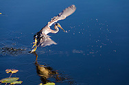 A Tricolored Heron (Egretta tricolor) flies away after catching a small fish in Everglades National Park, Florida. WATERMARKS WILL NOT APPEAR ON PRINTS OR LICENSED IMAGES.<br /> <br /> Licensing: https://tandemstock.com/assets/12596757