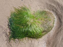 Seaweed on rock on beach