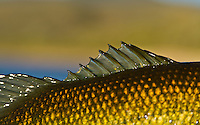 The dorsal fin of a largemouth bass caught in the evening Spring light.