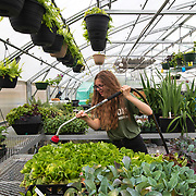 Abigail Dean waters plants in the greenhouse at Hixson High School in Tennessee. The students are part of the greenhouse management class at the school. Nathan Lambrecht/Journal Communications