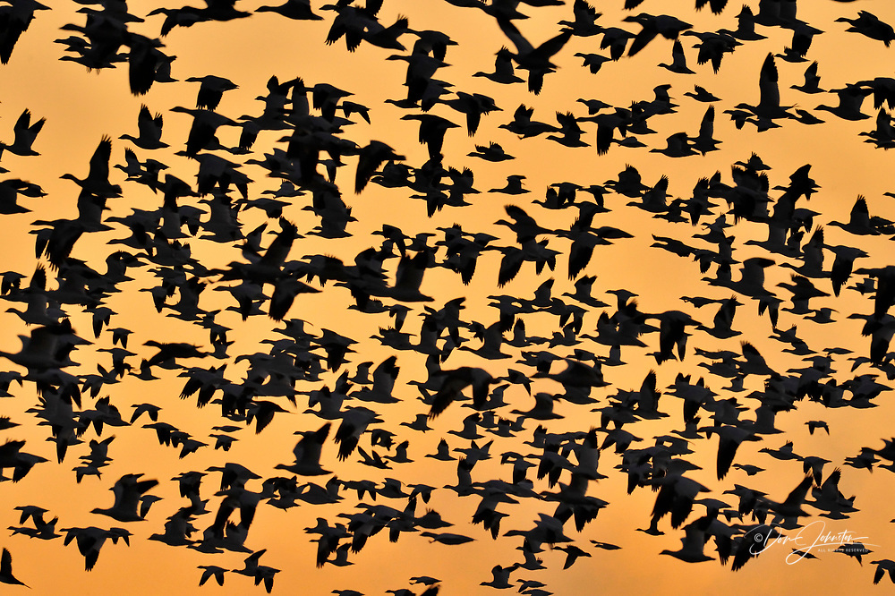 Snow Goose (Chen caerulescens) Flock rising from overnight roosting ponds, Bosque del Apache NWR, New Mexico, USA