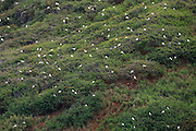 Thousands of red-footed boobies (Sula sula rubripes) roost on the cliffs of the Kilauea Point National Wildlife Refuge in Kauai, Hawaii. The refuge is popular with many different types of marine birds, though the red-footed boobies are one of the few that use it year-round. They nest in trees and shrubs and incubate their eggs with their large webbed feet.