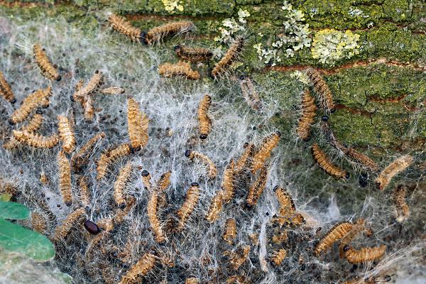 Nederland, Sambeek, 31-7-2018Eikenprocessierups zit nog steeds in de bomen .Foto: Flip Franssen