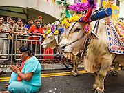 05 OCTOBER 2014 - GEORGE TOWN, PENANG, MALAYSIA:  A woman sits on the ground and prays in front of the oxen that pull the chariot with the deity before a procession honoring Durga in George Town during the Navratri procession. Navratri is a festival dedicated to the worship of the Hindu deity Durga, the most popular incarnation of Devi and one of the main forms of the Goddess Shakti in the Hindu pantheon. The word Navaratri means 'nine nights' in Sanskrit, nava meaning nine and ratri meaning nights. During these nine nights and ten days, nine forms of Shakti/Devi are worshiped.   PHOTO BY JACK KURTZ