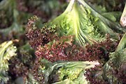 Close up selective focus photograph of some heads of Lollo Rosso lettuce
