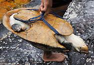 Big-headed Amazon River Turtle, Peltocephalus dumeriliana ,Rio Negro, Amazonas, Brazil.