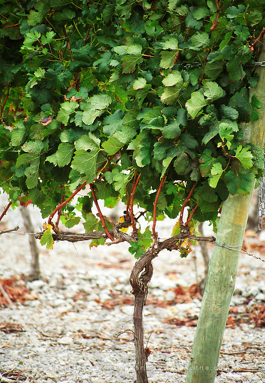Chateau Etang des Colombes Lezignan Corbieres. Les Corbieres. Languedoc. Young vines. Good illustration of how Cordon is built. France. Europe. Vineyard.