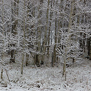 Snow covered forest. Montana.