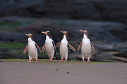 Four yellow-eyed penguins (Megadyptes antipodes), also known as Hoiho, walk across the beach at Jack's Bay, located in the Catlins on the southern tip of the South Island of New Zealand. Yellow-eyed penguins are endangered and are one of the most rare penguins in the world with a total population of only about 4,000. About 90 percent of the yellow-eyed penguin's diet consists of fish. During the breeding season, many of the penguins spend the entire day hunting in the ocean. They enter the Pacific Ocean at dawn and return at dusk, venturing as far as 25 kilometers (16 miles) offshore and diving to depts of up to 120 meters (394 feet).