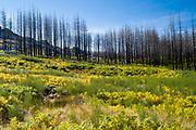 Serra da Estrela mountain range in the Natural Park. Graphic effect of line of fire damaged conifers, Portugal