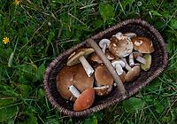 Puszcza Knyszynska n/z koszyk z roznymi grzybami fot Michal Kosc / AGENCJA WSCHOD