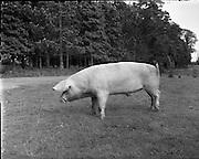 Mr McElligott's Pigs at Leixliip <br />02/06/1958