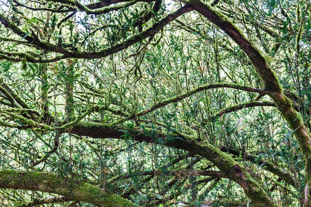 Moss covered trees near Cong Abbey, Cong, County Mayo, Ireland