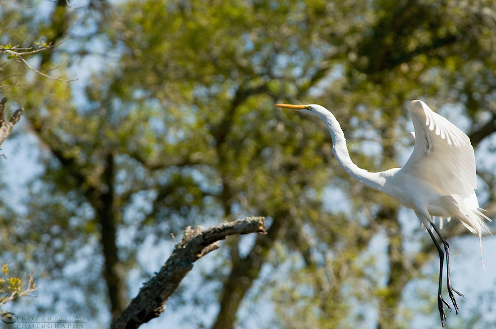 uana River State Park, Florida -- Great Egret, Ardea alba, also known as the Great White Egret, is pictured in breading plumage. In the early half of the last century the egret's plumes were coveted decorations for ladies' hats. Almost wiped out, the species recovered after the birds were protected by law.