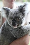 A Koala photographed near Cairns, Australia, Photograph by Dennis Brack