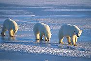01874-01317 Polar Bears (Ursus maritimus) female with 2 cubs walking on frozen pond  Churchill  MB