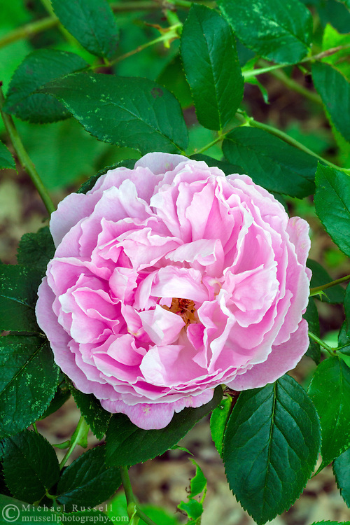 """'Mary Rose' - a """"David Austin Rose"""" blooming during the spring in a backyard rose garden"""