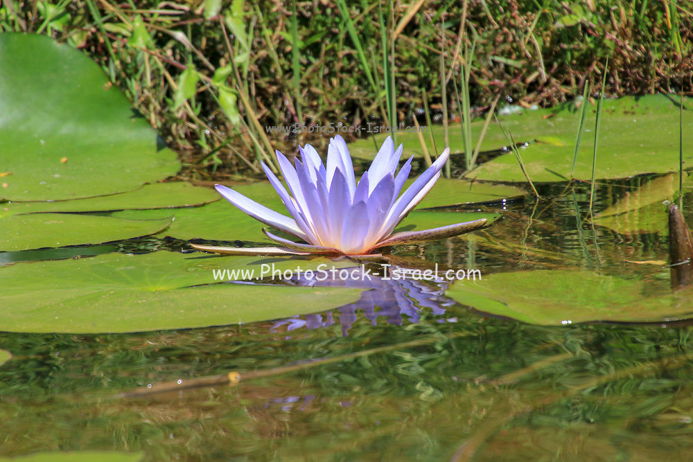 Nymphaea caerulea, known primarily as blue lotus (or blue Egyptian lotus), but also blue water lily (or blue Egyptian water lily), and sacred blue lily (or sacred narcotic lily of the nile), is a water-lily in the genus Nymphaea. Photographed in Madagascar