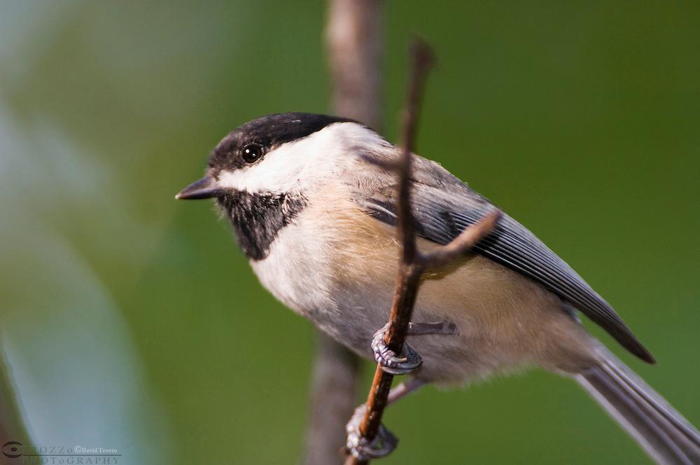 Black-capped Chickadee, Poecile atricapillus