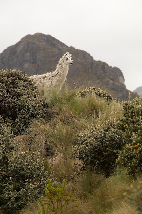 South America, Ecuador. Llama (Llama glama), Cajas National Park (Parque Nacional El Cajas), 35km northwest of Cuenca, includes 290 square km of paramo, high-elevation forest, and over 230 lakes.