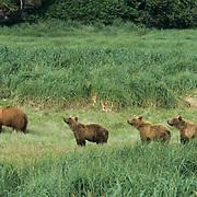 Alaskan Brown Bear, (Ursus middendorffi) Mother and three cubs walking in grassy field. Alaskan Peninsula.