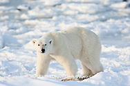 01874-12213 Polar Bear (Ursus maritimus) near Hudson Bay  in Churchill Wildlife Management Area, Churchill, MB Canada