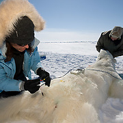 Dr. Steve Amstrup, USGS biologist and assistant, Karyn Rode, using a (BIA) Bio Electical Impedance Analysis device, to check the weight of a small, female, polar bear. Beaufort Sea ice pack.