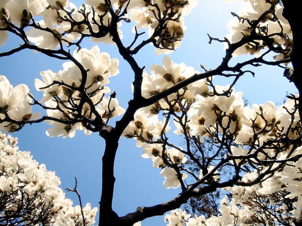 White spring dogwood blossoms bloom from underneath against a blue sky in Charlottesville, Virginia. Available for license on Getty images.