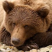 Alaskan Brown Bear (Ursus middendorffi) Sub adult resting, paws crossed. Katmai National Park. Alaska.