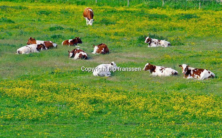Nederland, Ooijpolder, 14-5-2020 Jonge koeien, pinken, grazen in de wei vol met bloemen, paardebloemen . Tegenwoordig worden veel grassoorten gebruikt die zo genetisch gemodificeerd zijn dat er geen bloemen, veldbloemen meer tussen groeien . Hierdoor hebben ook insecten, vogels en bijen het moeilijker . Foto: Flip Franssen