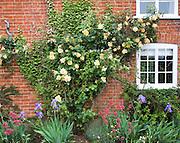 Apricot yellow Buff Beauty variety musk climber rose growing on brick cottage wall, Suffolk, England