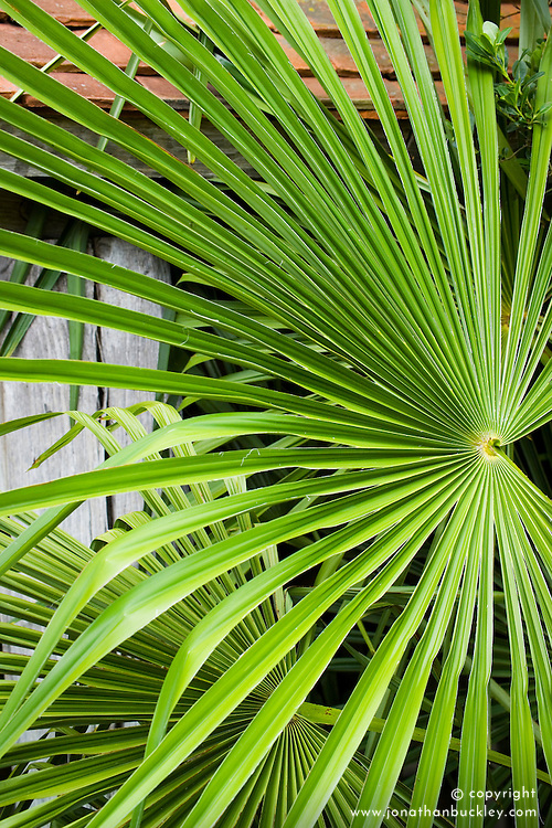Trachycarpus fortunei AGM in the Exotic Garden at Great Dixter. Chusan Palm
