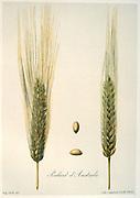 Plate showing variety Poulard d'Australie.  From  'Les Meilleurs Bles' ('The Best Wheat')  Audrieux-Vilmorin & Cie, Paris, c1880. Chromolithograph.