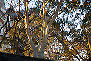 The Sydney Harbour Bridge through the trees, Sydney, Australia. This is the view from the front of the Park Hyatt Sydney Hotel.