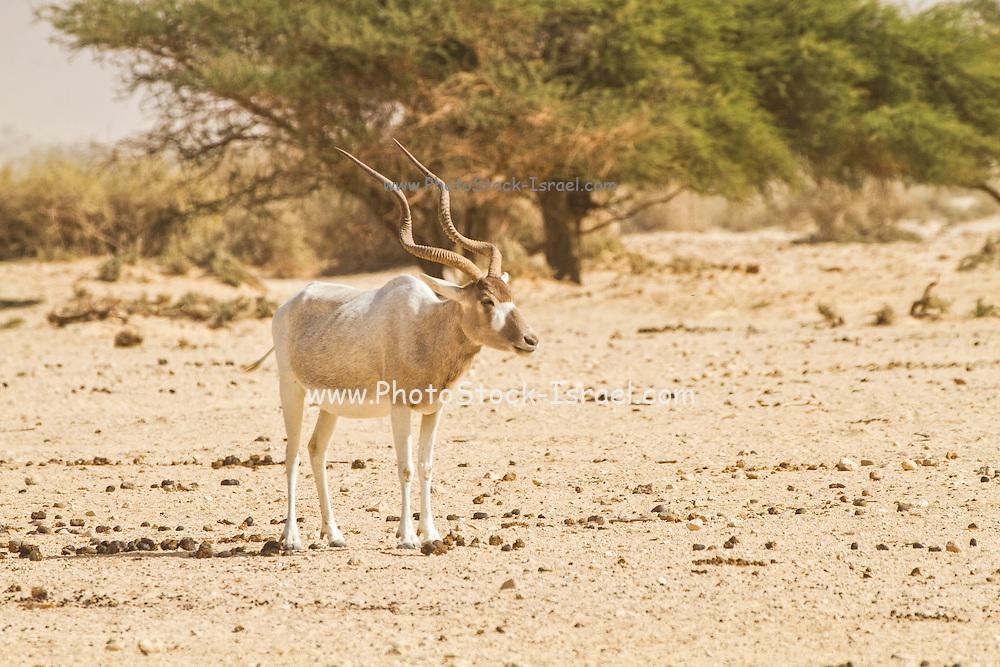 Addax (Addax nasomaculatus) in the Negev desert, Israel. Looking to camera