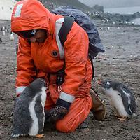 Enduring rain, a tourist encounters fearless gentoo penguin chicks on a beach on Aitcho Island, Antarctica.