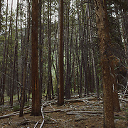 The Lodgepole Pine, common in Wyoming, are endangered by global warming.
