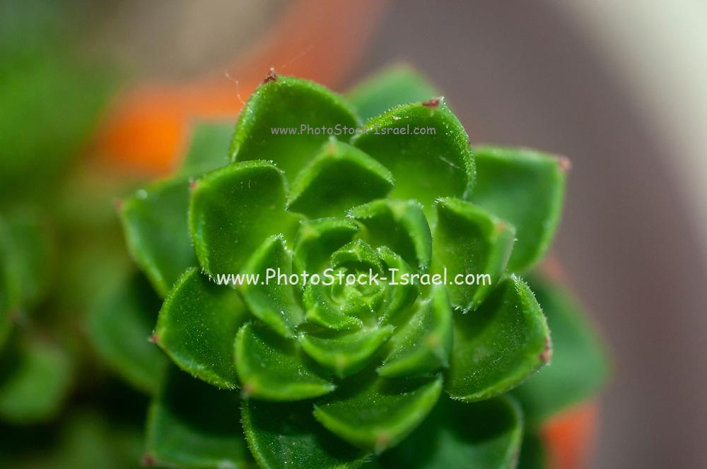 Houseleek (Sempervivum tectorum) rosette. member of the Crassulaceae family
