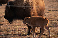 Photo Randy Vanderveen<br /> Grande Prairie, AB<br /> 2020-04-24<br /> A bison calf stays close by mom as a herd grazes in a field southeast of Bezanson Friday, April 24. Bison cows are beginning to drop calves and soon herds will have lots of the little red youngsters romping around under the watchful eye of the more mature herd.